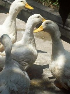 Pedoman Praktis Budidaya Itik Peking (Peking Duck)